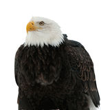 Close up Portrait of a Bald Eagle Stock Photos