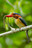 Close up portrait of Banded Kingfisher Royalty Free Stock Photos
