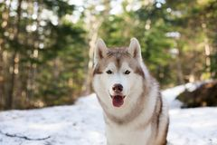 Close-up Portrait of beautiful Beige and white Siberian Husky dog sitting in the forest in spring season. Close-up Portrait of beautiful Beige and white Siberian stock image