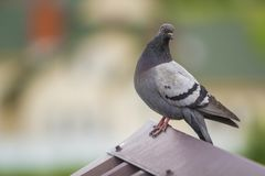 Close-up portrait of beautiful big gray and white grown pigeon w Royalty Free Stock Image