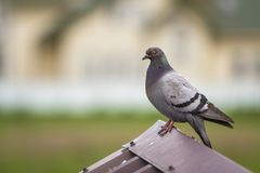 Close-up portrait of beautiful big gray and white grown pigeon w Royalty Free Stock Photo