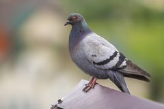 Close-up portrait of beautiful big gray and white grown pigeon w Royalty Free Stock Images