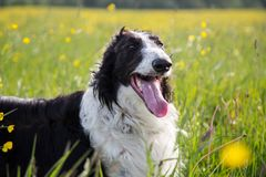 Close-up Portrait of beautiful black and white dog breed russian borzoi lying in the green grass and yellow buttercup. Meadow in summer royalty free stock images