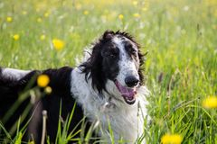 Close-up Portrait of beautiful black and white dog breed russian borzoi lying in the green grass and yellow buttercup. Meadow in summer royalty free stock image