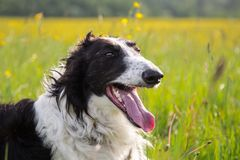 Close-up Portrait of black and white dog breed russian borzoi lying in the green grass and yellow buttercup meadow. Close-up Portrait of beautiful black and stock photography