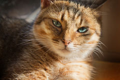 Close up portrait of beautiful domestic cat Stock Photo