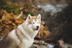 Close-up Portrait of beautiful and free beige and white siberian husky dog sitting on the beach at seaside. Close-up Portrait of beautiful and free beige and royalty free stock images