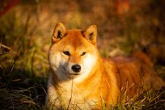 Beautiful red shiba inu dog lying on the grass in the forest at golden sunset. Close-up portrait of Beautiful and happy red dog breed shiba inu with tonque stock photography