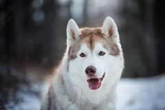 Close-up portrait of beautiful and happy siberian Husky dog sitting in the dark winter forest at sunset. Close-up portrait of beautiful and happy beige and white royalty free stock images