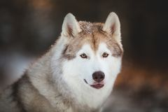Close-up portrait of beautiful and happy siberian Husky dog sitting on the snow in the fairy winter forest at sunset. Close-up portrait of gorgeous, beautiful stock photos