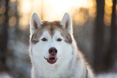 Close-up portrait of beautiful and happy siberian Husky dog sitting on the snow in winter forest at sunset. Close-up portrait of beautiful, happy and free royalty free stock image