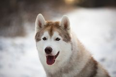Close-up portrait of beautiful Husky dog sitting in winter forest at sunset. Close-up portrait of beautiful and prideful Husky dog sitting in winter forest at stock photography
