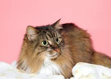 Portrait of a beautiful Maine Coon cat. Close up portrait of a beautiful long haired brown and black Maine Coon cat looking to viewers right with wide eyed stock photo