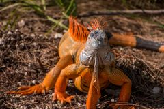 Beautiful orange iguana with large dewlap. Close-up portrait of beautiful orange iguana lizard with large hanging expanded dewlap Stock Images