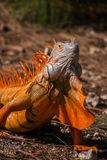 Beautiful orange iguana with large dewlap. Close-up portrait of beautiful orange iguana lizard with large hanging expanded dewlap Stock Image