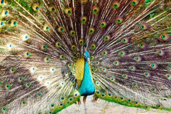 Close-up portrait of beautiful peacock with colorful feathers Stock Image