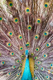 Close-up portrait of beautiful peacock with colorful feathers Stock Photos