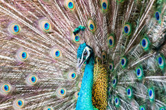 Close-up portrait of beautiful peacock with colorful feathers Royalty Free Stock Photos