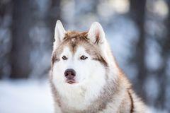 Beautiful, prideful and free Siberian Husky dog sitting on the snow path in the fairy winter forest at sunset. Close-up Portrait of beautiful, prideful and free stock photo