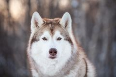Beautiful, prideful and free Siberian Husky dog sitting on the snow path in the winter forest at sunset. Close-up Portrait of beautiful, prideful and free royalty free stock photography
