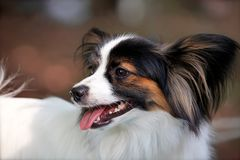 Close up portrait of beautiful purebred dog Papillon on brown background. Outdoors, copy space, white and black-n-tan color stock photography