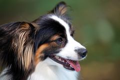 Close up portrait of beautiful purebred dog Papillon on green background. Outdoors, copy space, white and black-n-tan color stock images