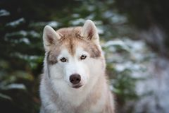 Close-up Portrait of beautiful Siberian Husky dog sitting on the snow in front of fir-tree in the winter forest. Close-up Portrait of beautiful and free Siberian stock image