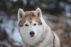 Close-up Portrait of beautiful Siberian Husky dog sitting on the snow in front of fir-tree in the winter forest. Close-up Portrait of beautiful, serious and free stock images
