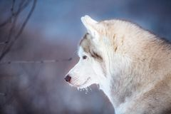 Close-up portrait of beautiful Siberian Husky dog sitting is on the snow in winter forest at sunset. Close-up portrait of gorgeous an free Siberian Husky dog royalty free stock photo