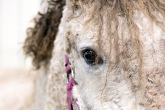 Close up portrait of beautiful wild white horse eye. Animals details, farm pets concept.  stock photo