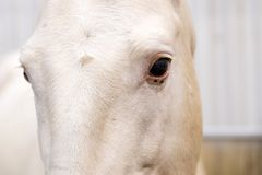 Close up portrait of beautiful wild white horse eye. Animals details, farm pets concept.  royalty free stock images