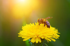 Close-up portrait of a bee on a yellow dandelion. Royalty Free Stock Photos