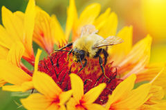 Close up portrait of a bee on a yellow flower. Royalty Free Stock Photography
