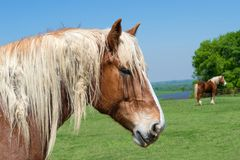 Close-up portrait of a Belgian Draft Horse. Beautiful Texas springtime pasture background with another horse against blue sky. A fence and bluebonnet field in stock image