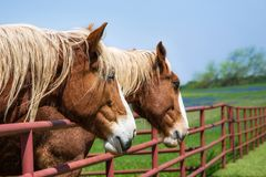 Close-up portrait of Belgian Draft Horses. Two Belgian Draft Horses reaching over the fence on beautiful Texas spring pasture. Close-up. Bluebonnet field in the royalty free stock photos