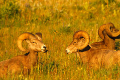 Close up Portrait of Big Bighorn Mountain Sheep Rams Royalty Free Stock Photography