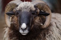 Close up portrait of big fluffy brown sheep with big curlyhorns. Close up portrait of big fluffy brown sheep with big curly horns stock images