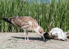 Close-up portrait of big gray brown seagull eating another dead bird on shore on a summer sunny day. Useful shoreline caregiver Stock Photography