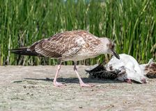 Close-up portrait of big gray brown seagull eating another dead bird on shore on a summer sunny day. Useful shoreline Royalty Free Stock Photos