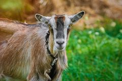 Portrait of Billy Goat Royalty Free Stock Photos