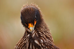 Close-up Portrait of birds of prey Strieted caracara, Phalcoboenus australis. Caracara sitting in the grass in Falkland Islands, A Stock Images