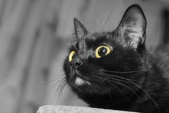 Close up portrait of a black cat. With yellow eyes looking upward for to catch some prey Stock Images