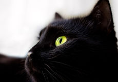 Close up portrait of black cat Stock Images