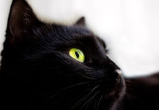 Close up portrait of black cat Royalty Free Stock Images