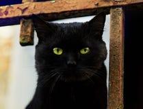 Close up portrait of black cat Stock Images