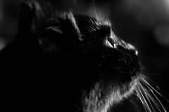 Close-up portrait of black cat Royalty Free Stock Photography