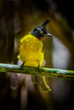 Close up portrait of Black-crested Bulbul Royalty Free Stock Photography