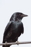 Close up portrait of Black Drongo Stock Photo