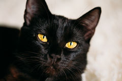 Close Up Portrait Black Female Kitten Cat Stock Photos