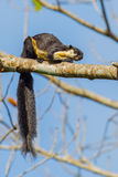 Close up portrait of Black giant squirrel Royalty Free Stock Photo